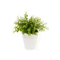 荷蘭Emerald人造植栽 尤加利葉 (白盆)