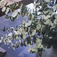 荷蘭Emerald人造植物 尤加利葉 (長115公分)