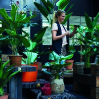 荷蘭Emerald人造植栽 蠍尾蕉綠葉叢 (高175公分)